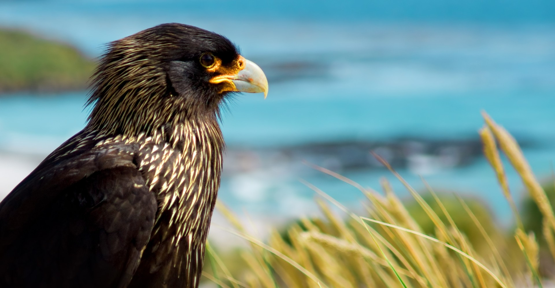 Striated Caracara in the Falklands