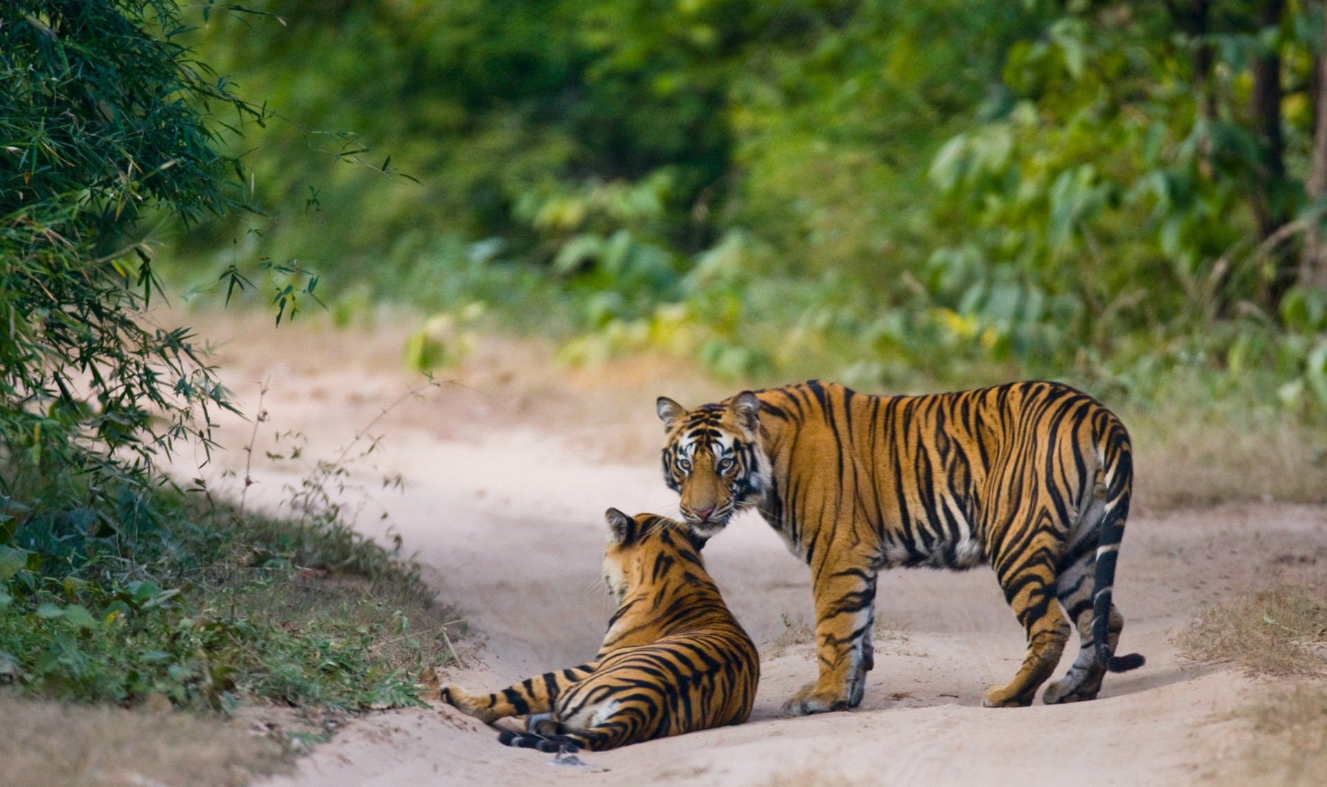Tigers in Bandhavgarh National Park India