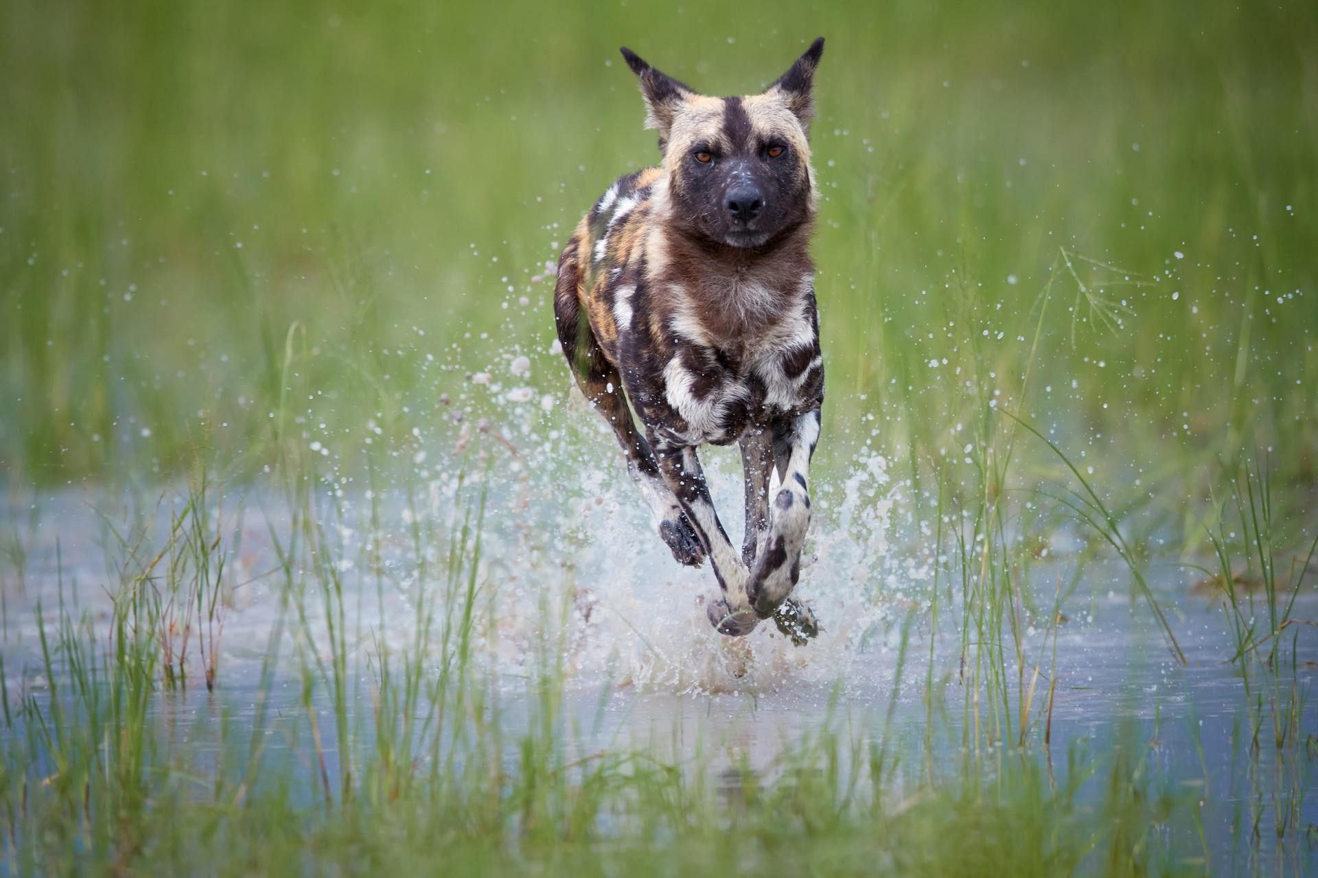 African wild dog in the Okavango Delta