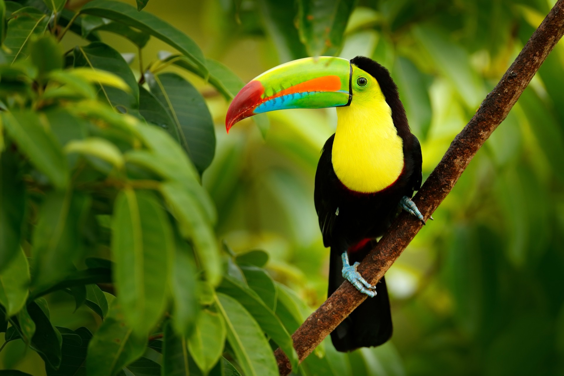 The National Parks of Costa Rica: Keel-billed Toucan