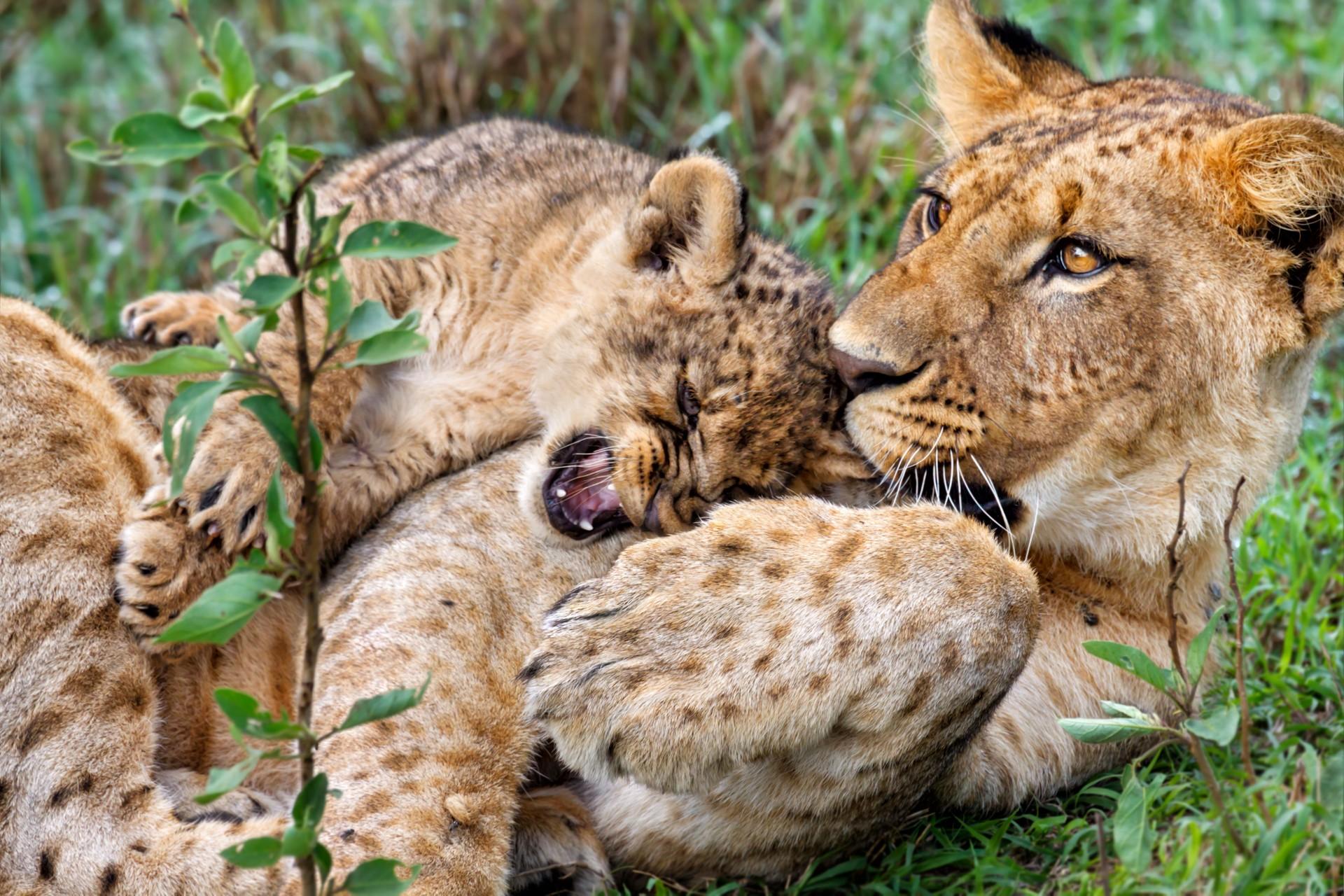 Lion cubs playing in Lake Nakuru National Park
