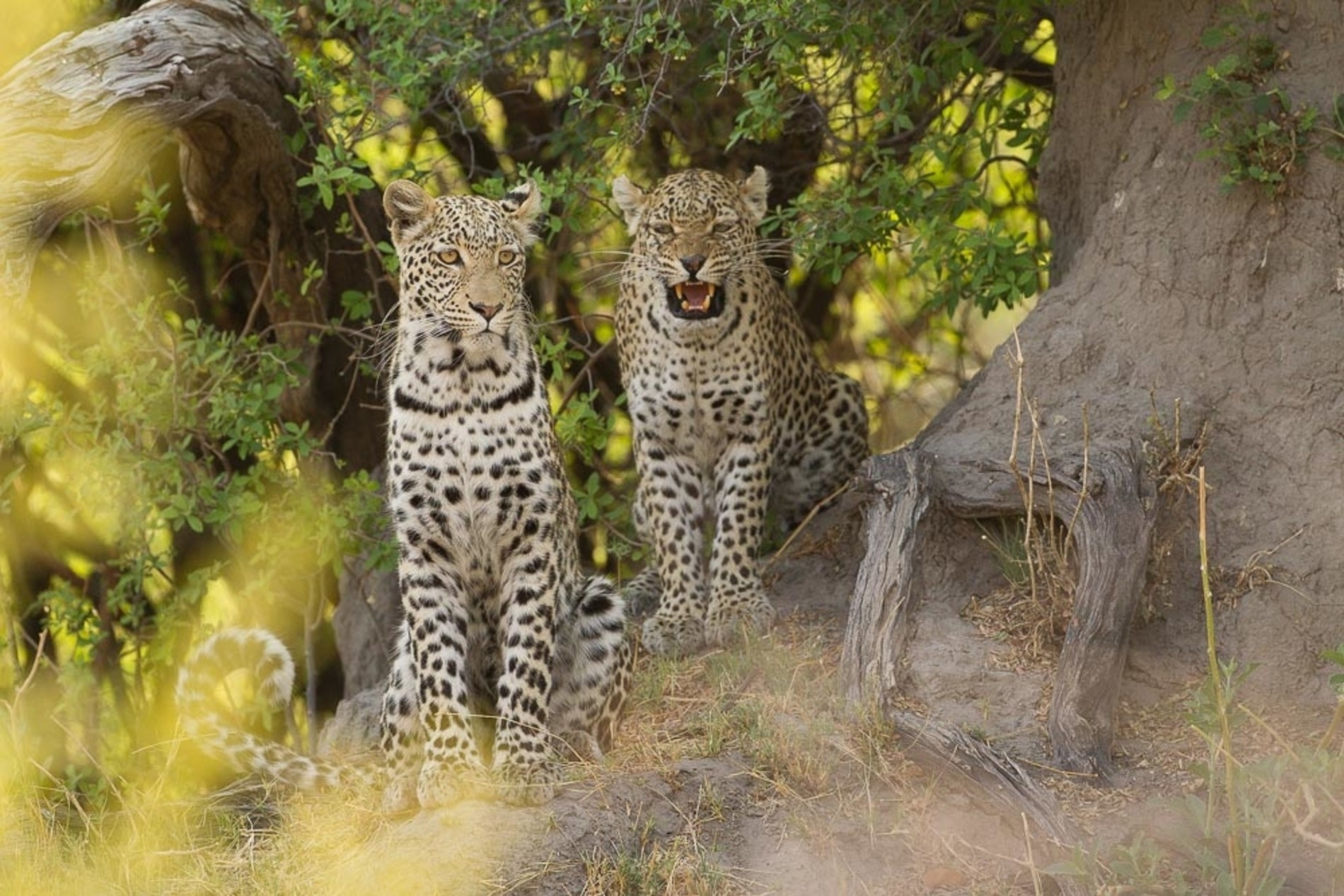 Two young leopards Botswana