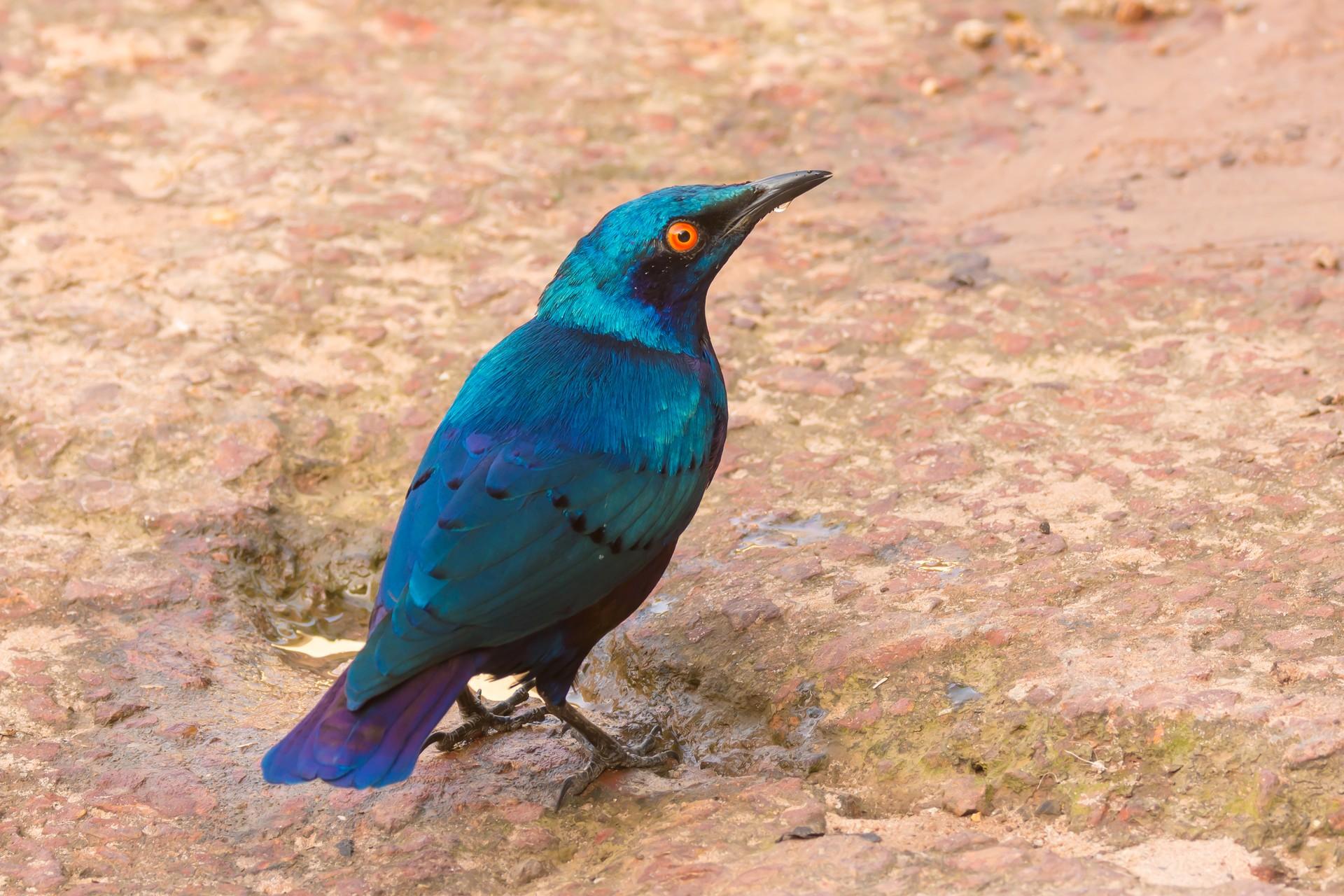 Glossy starling in Senegal