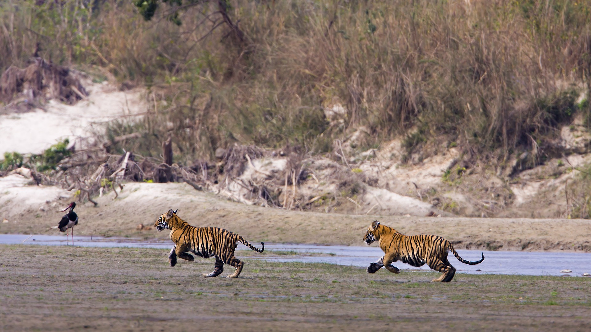 Bengal tiger cubs playing in Nepal