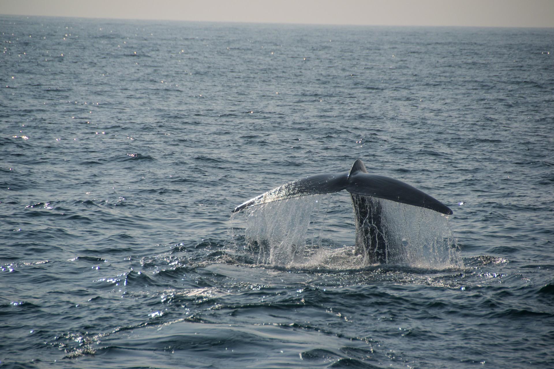 Blue whale tail in Sri Lanka