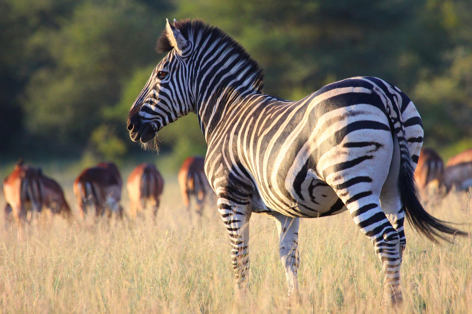 A zebra survey its surroundings in a wildlife reserve