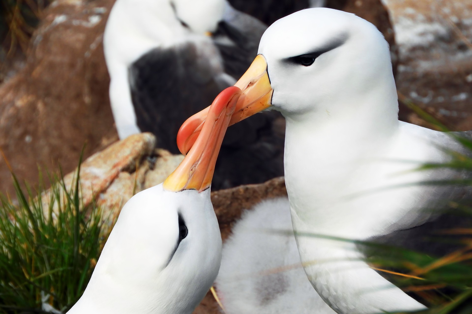 Black-browed Albatross on Falkland Islands