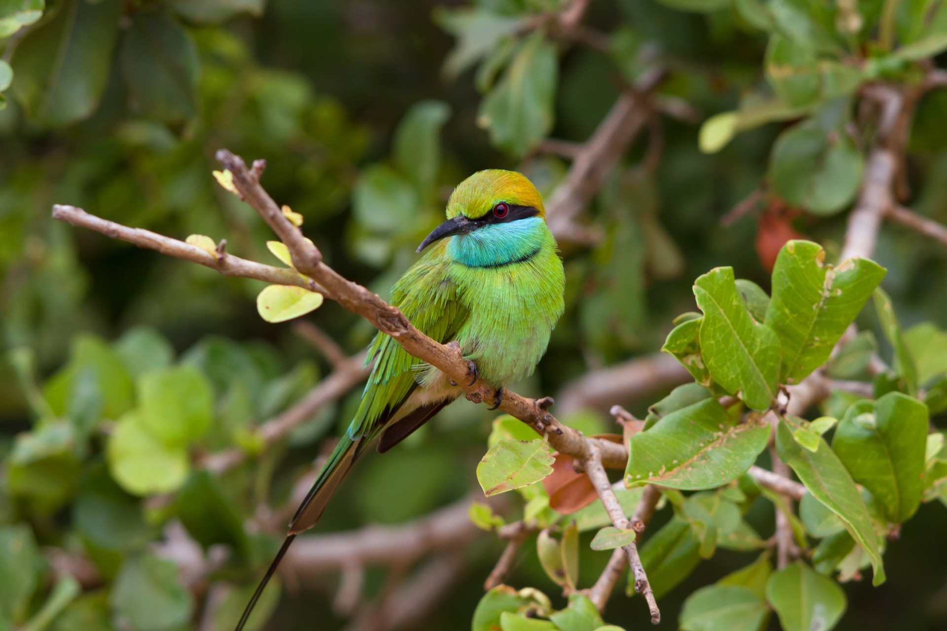 Little green bee-eater bird in Yala National Park, Sri Lanka