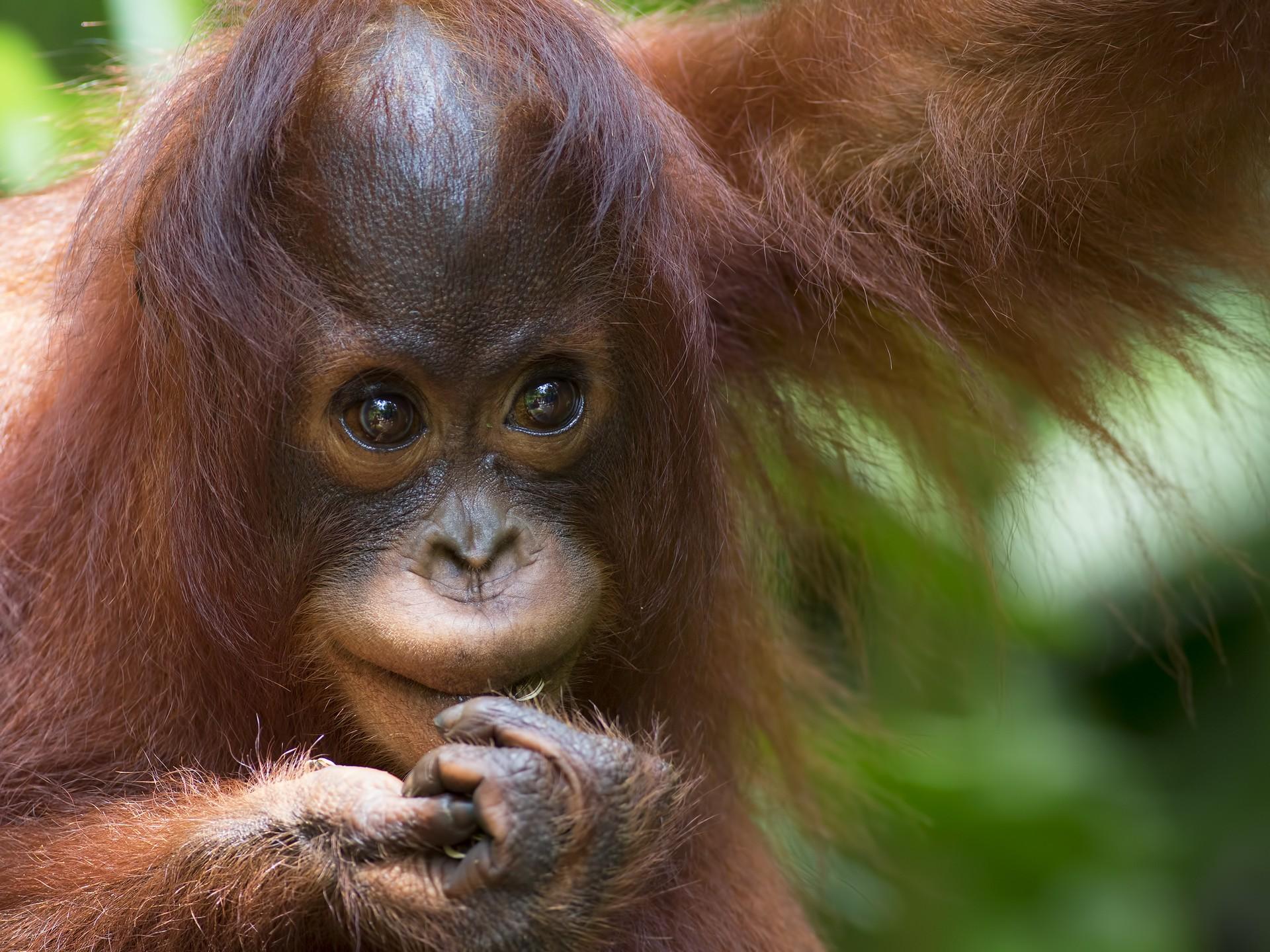 Borneo holidays: Baby orangutan in Sepilok