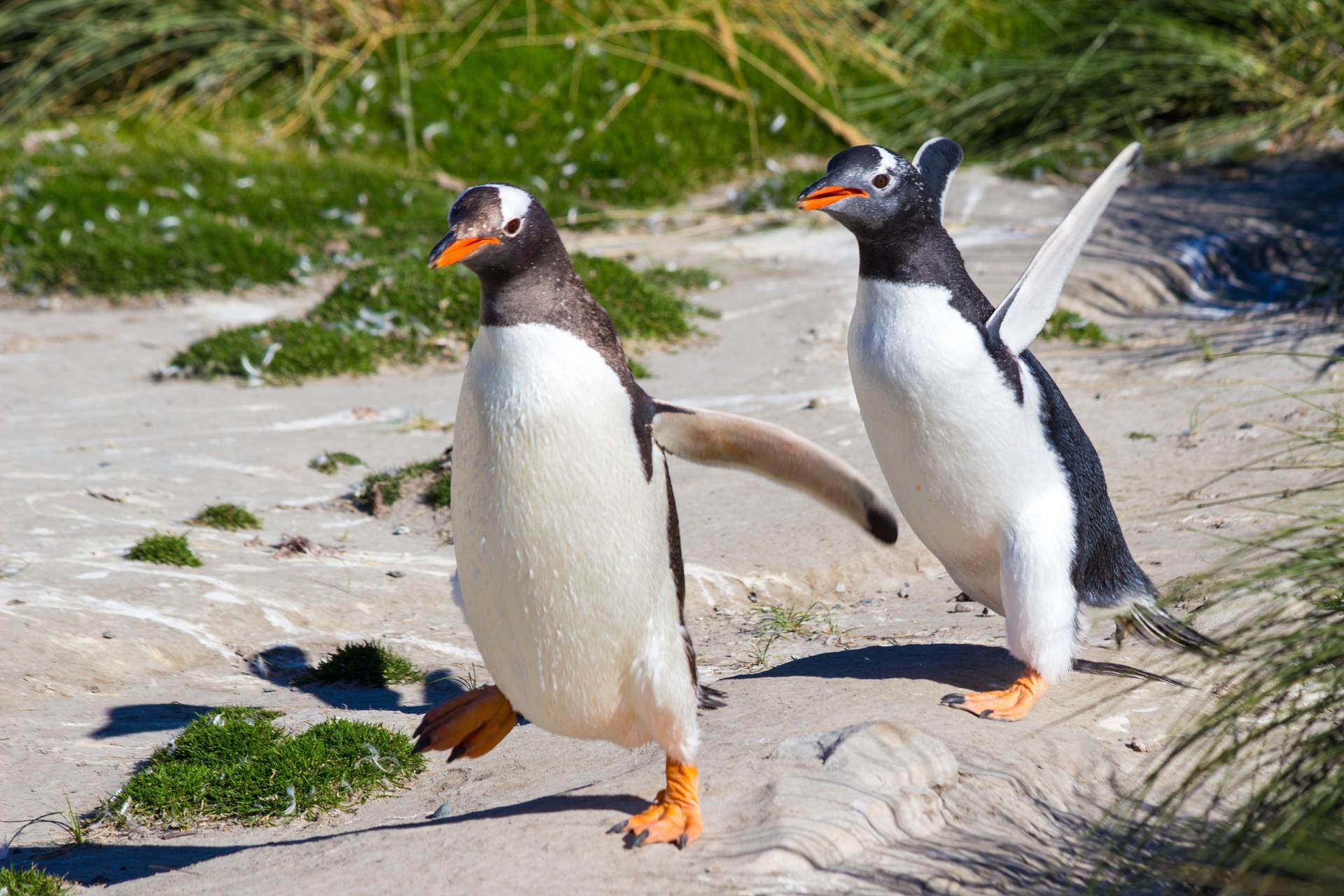 Gentoo penguins in the Falklands