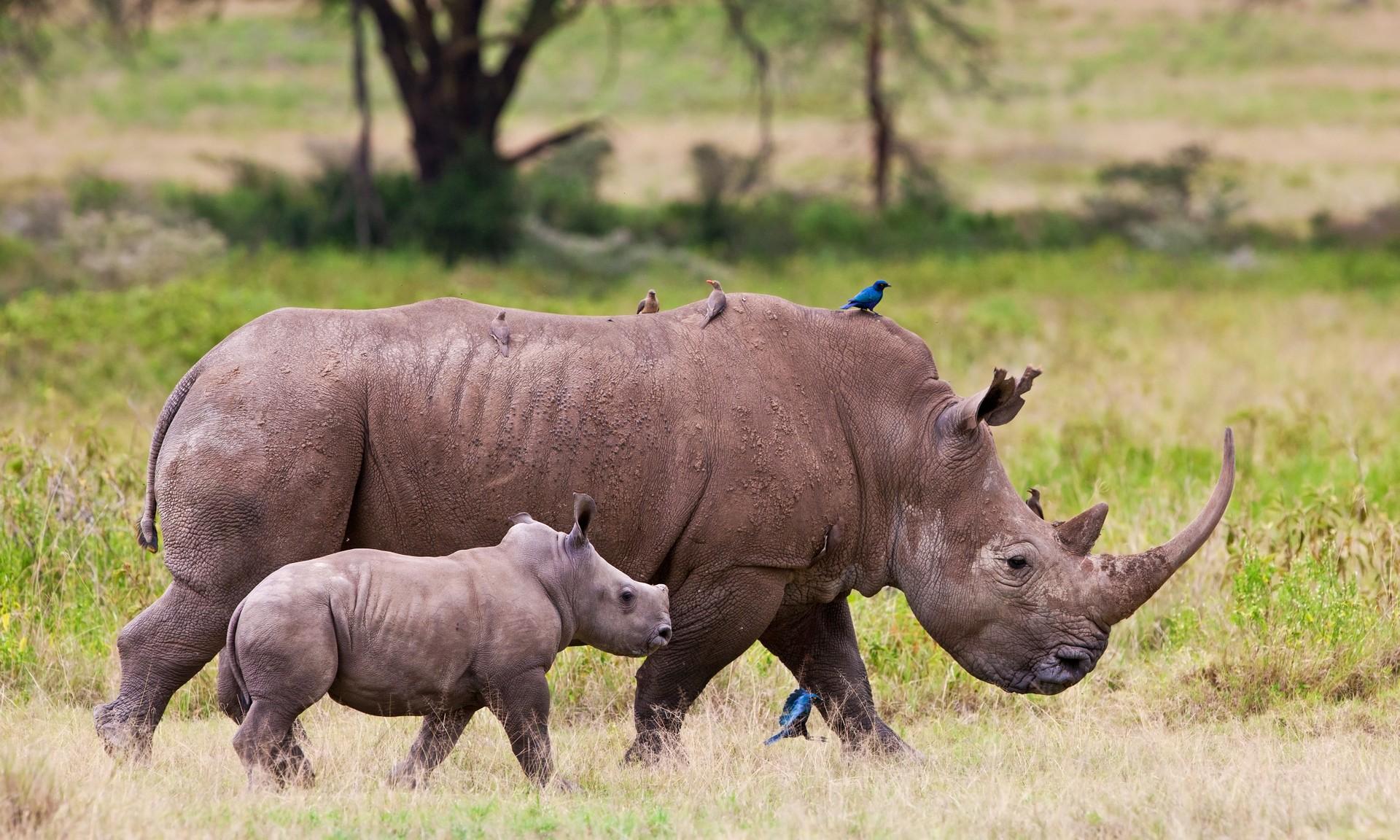 Rhino and calf in Kenya