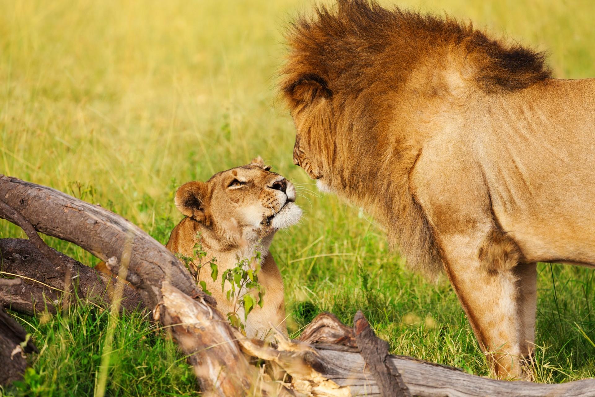 lions in Amboseli national park kenya