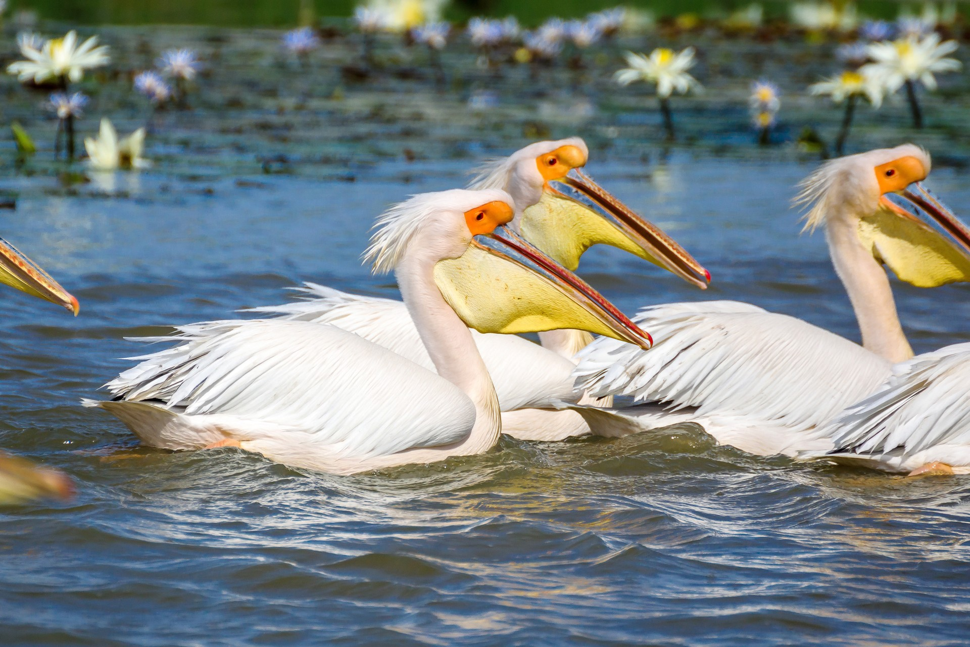 White pelicans in Djoudj National Park Senegal