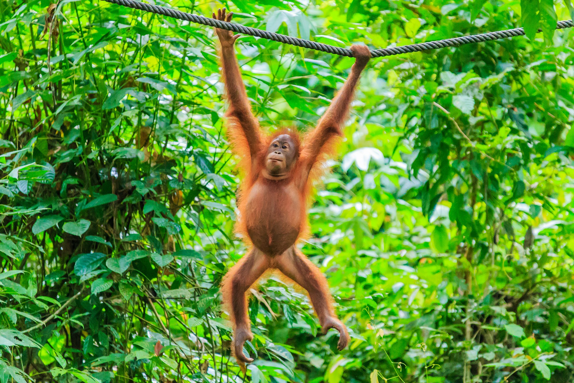 An orangutan hanging in the trees of the Danum Valley Conservation Area