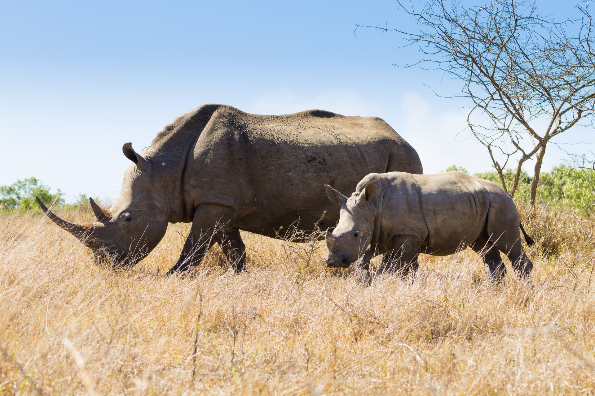 White rhino and calf South Africa