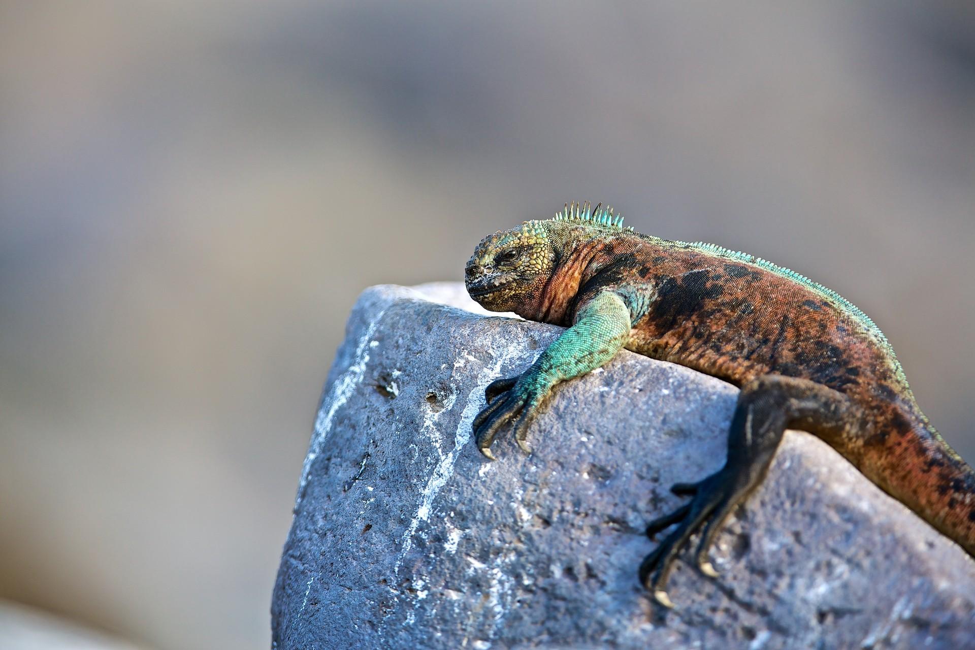 marine iguana in Galapagos