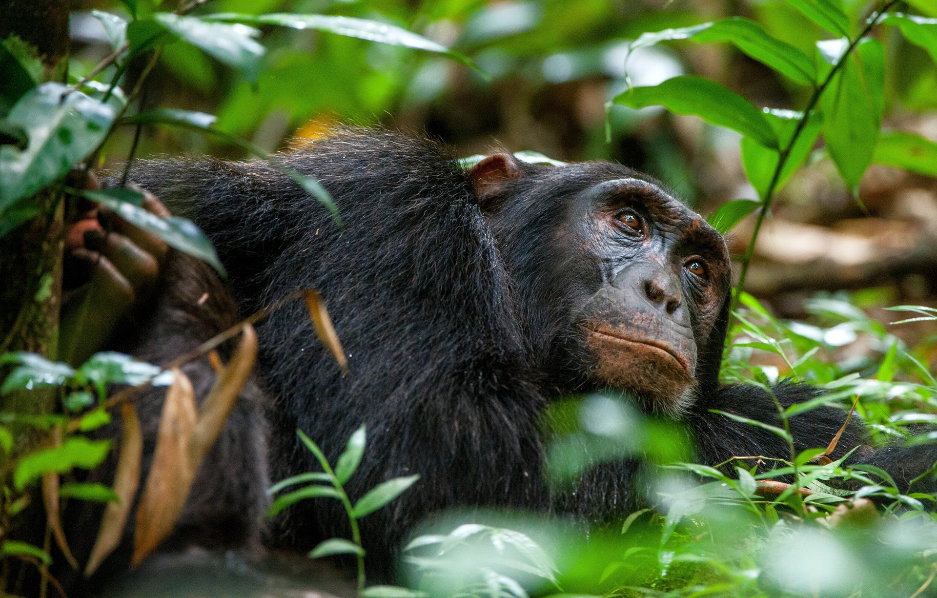 Chimp relaxing in Uganda - Kibale National Park