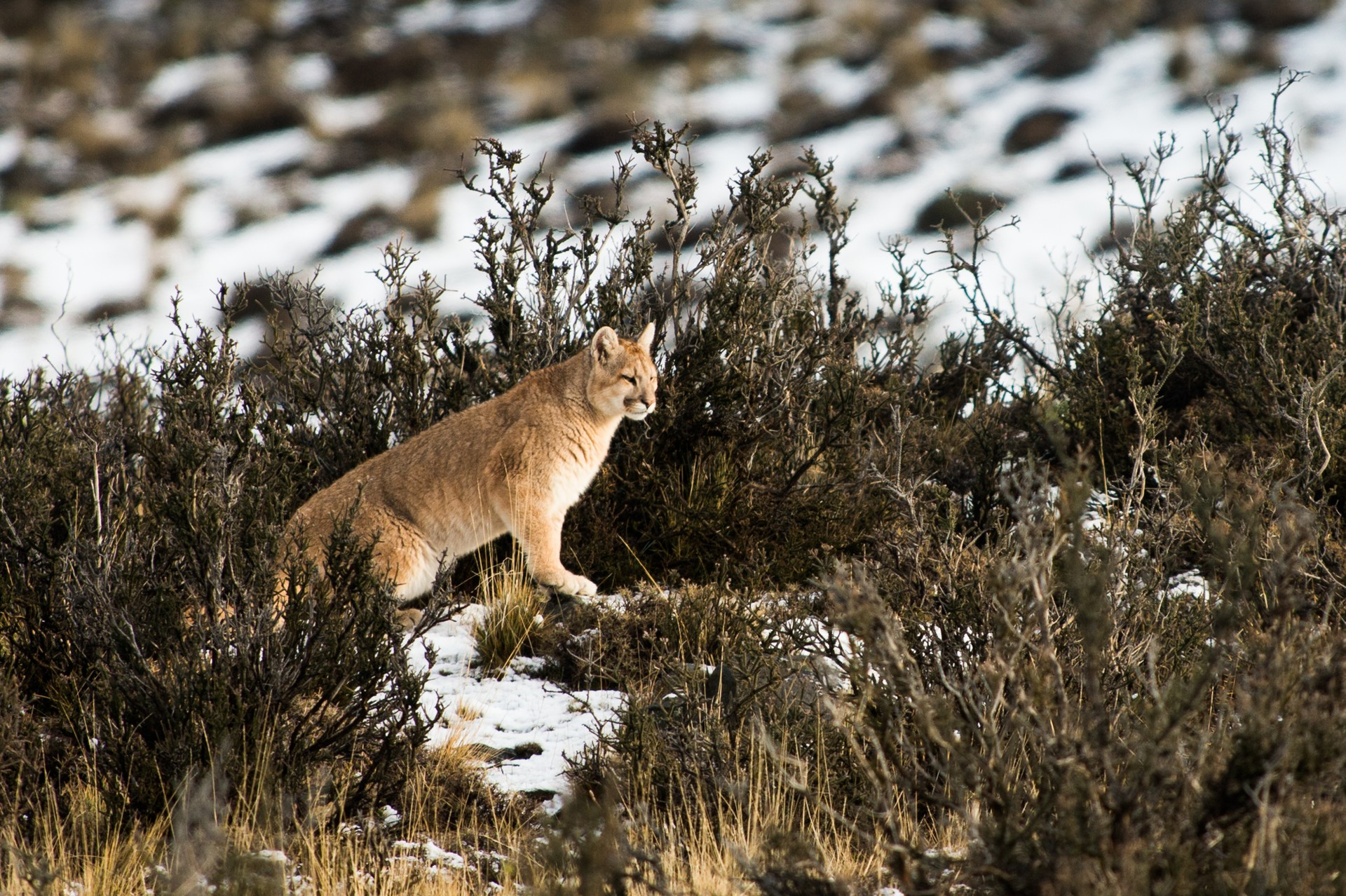 Puma in Torres del Paine National Park, Patagonia
