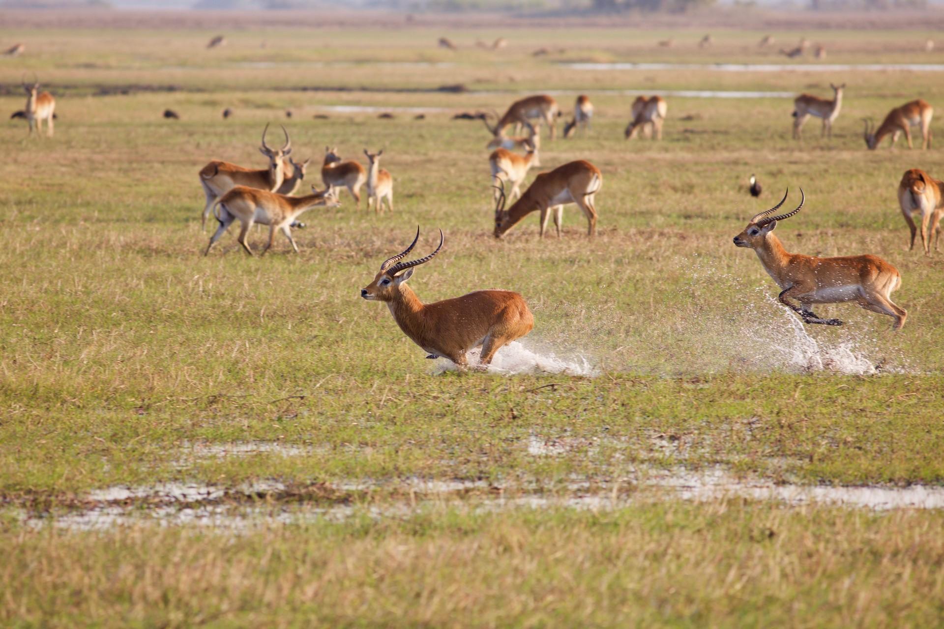 Wildlife of Zambia: Kafue Lechwe