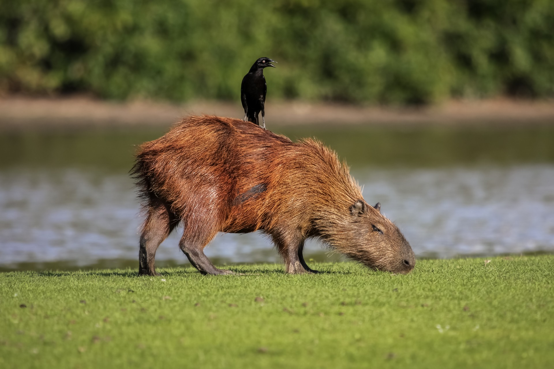 Capybara grazing in the Pantanal