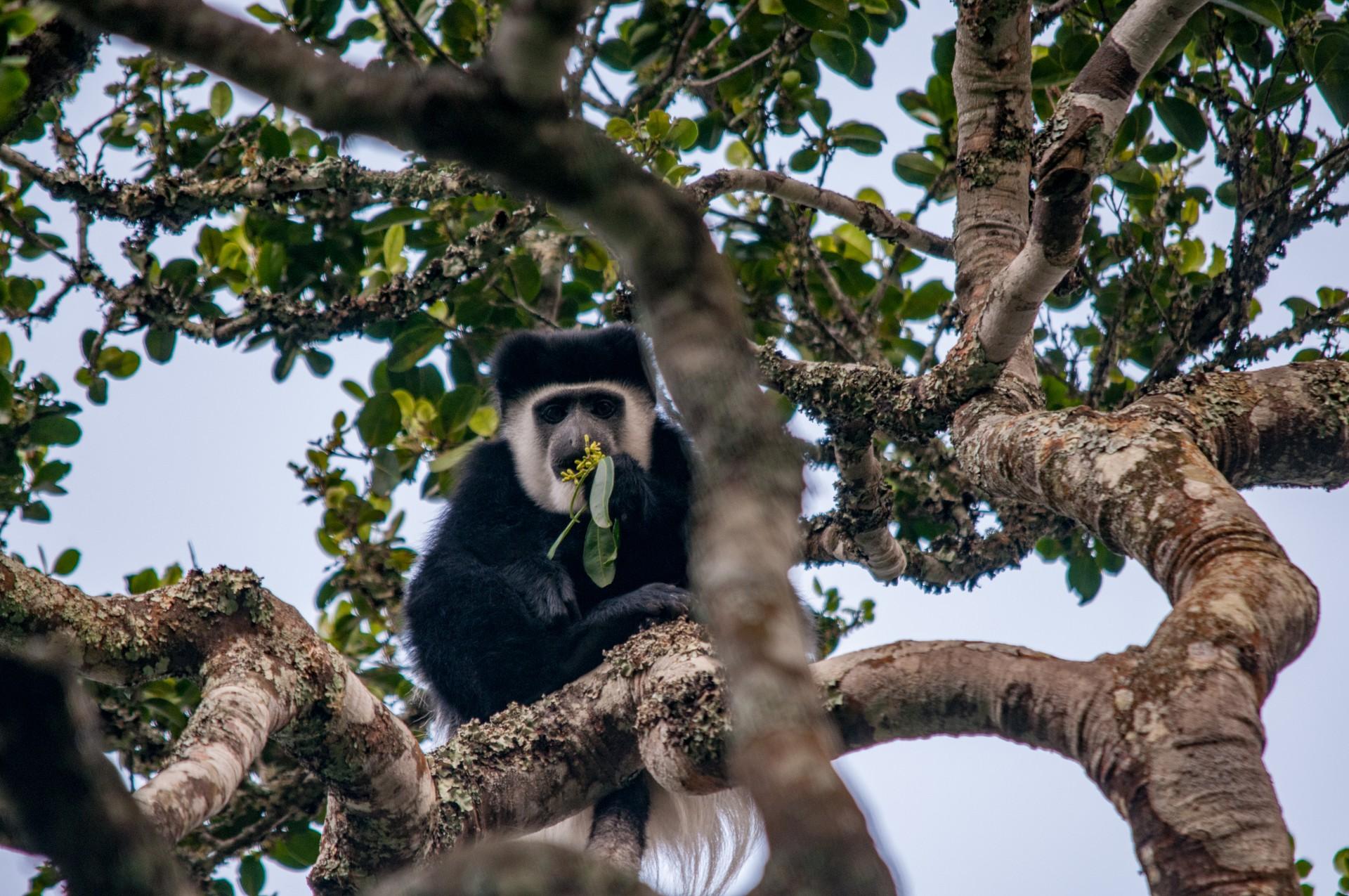 eastern black and white colobus monkey in Aberdare national park Kenya