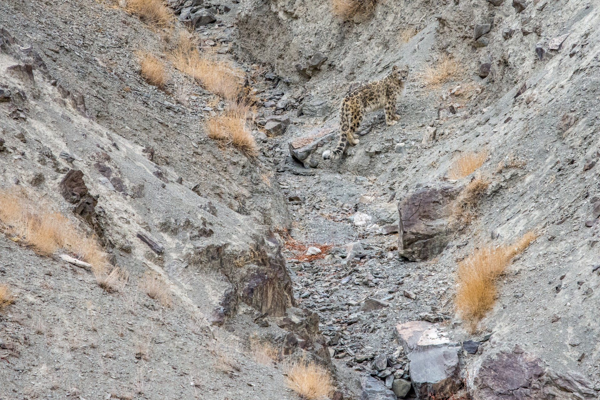 Snow leopard in mountain valley