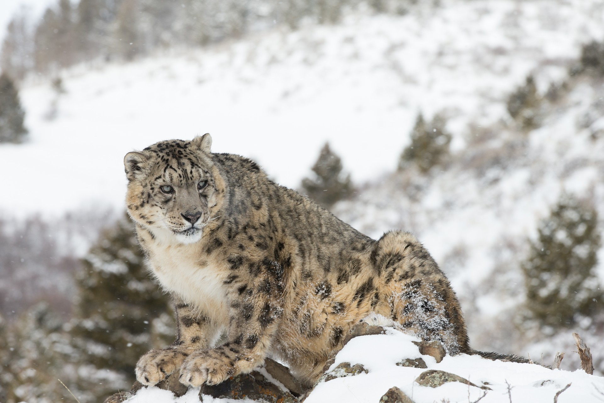Snow leopard in Himalayas