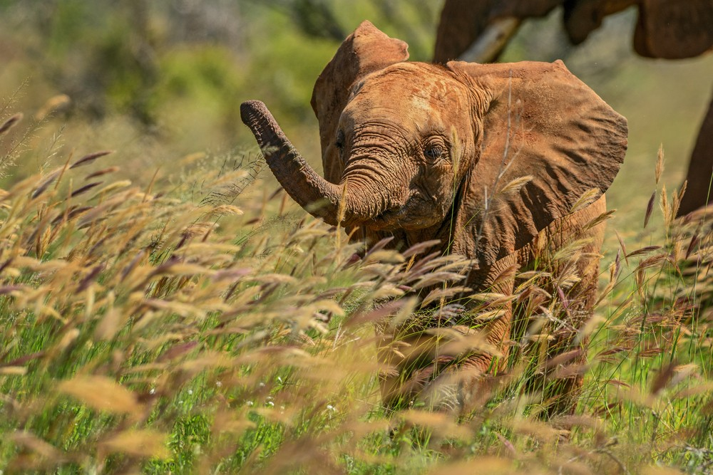A baby elephant wanders through the tall grass in the Shimba Hills, Kenya