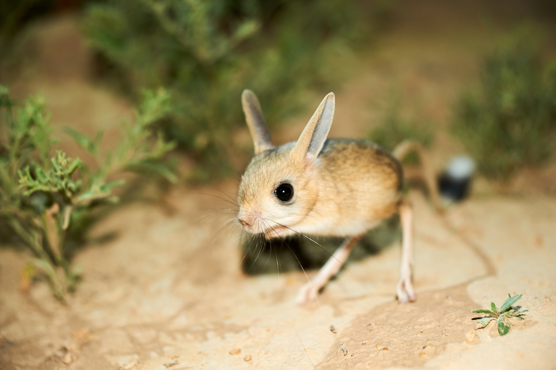 Jerboa in Jordan