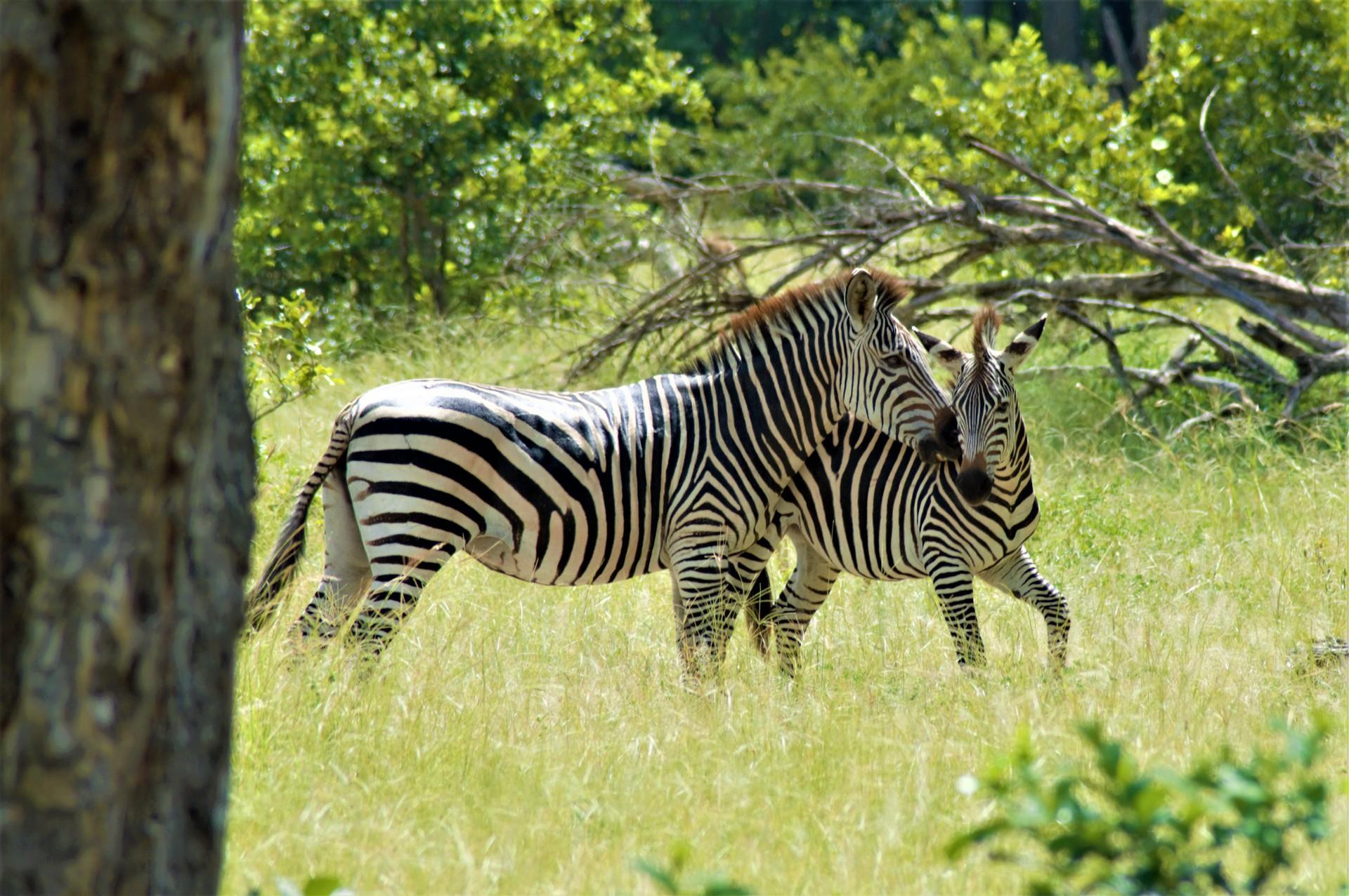 Zebras in Liwonde National Park Malawi