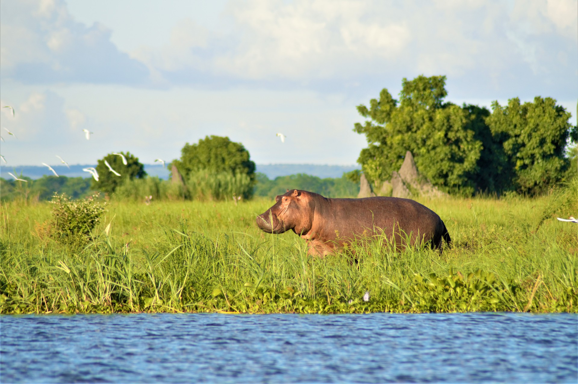 A hippo wanders along the banks of the river in Liwonde National Park