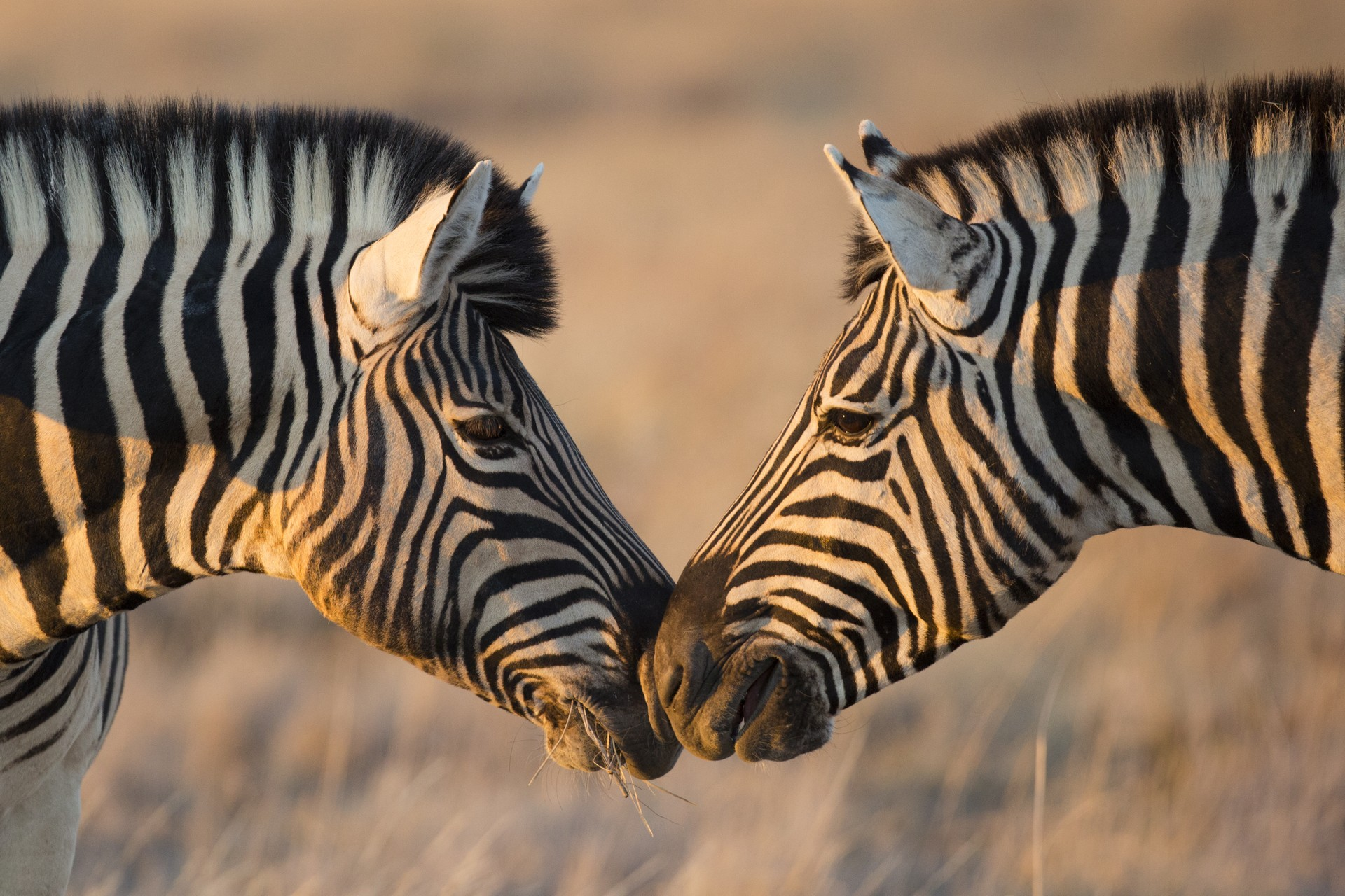 Zebras greeting each other in Namibia