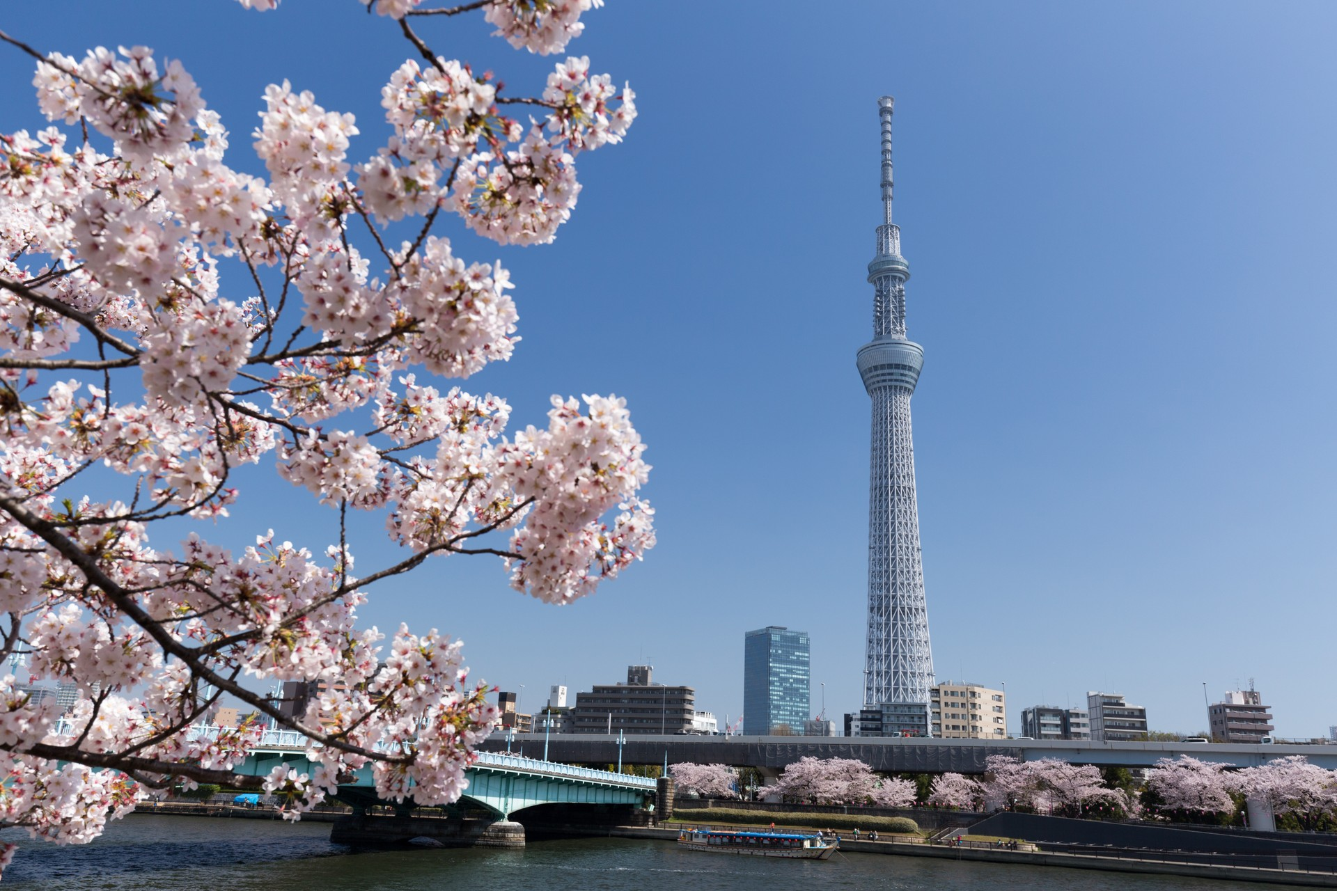 Cherry blossom in front of the Tokyo Skytree