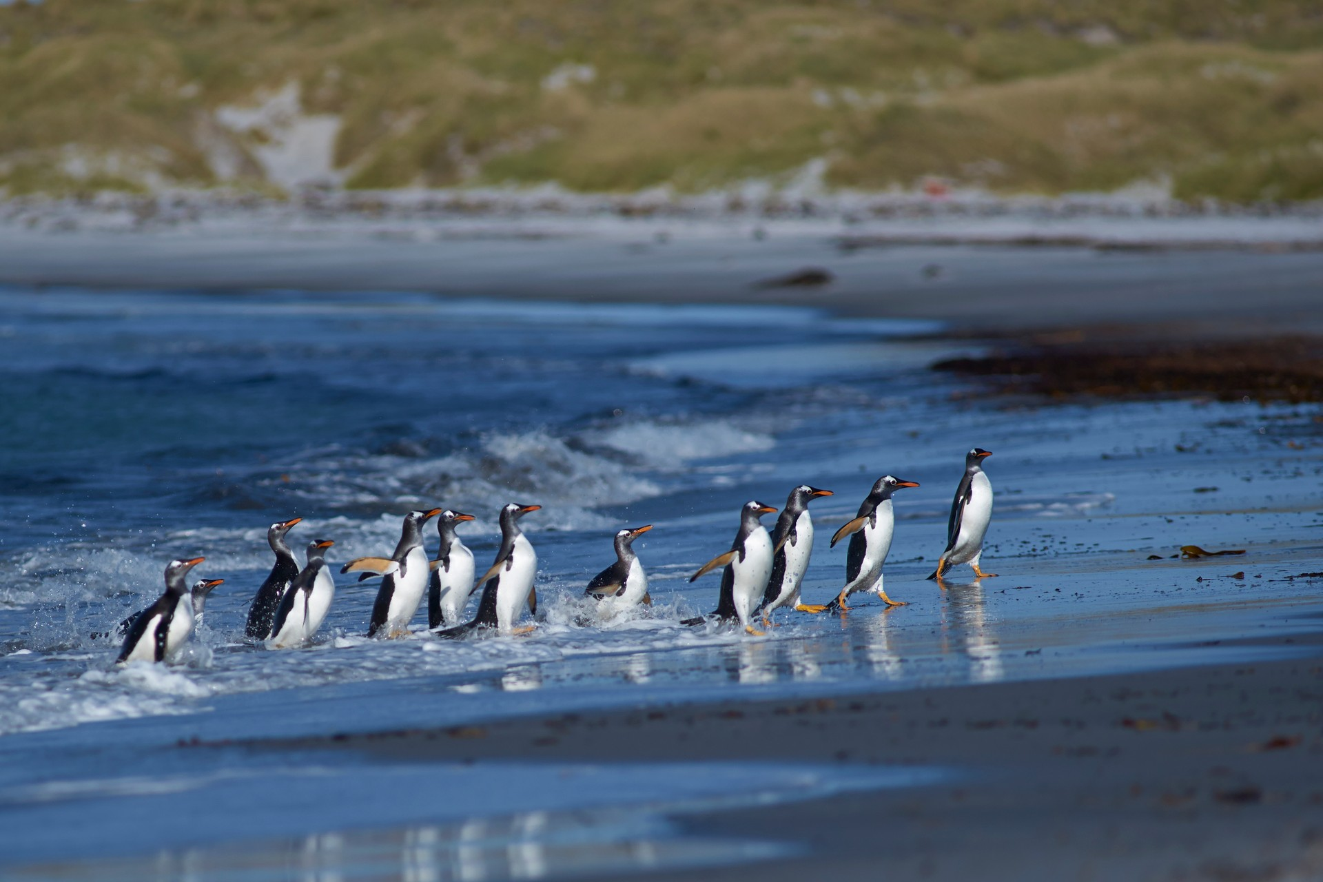 Falkland Islands penguins on beach