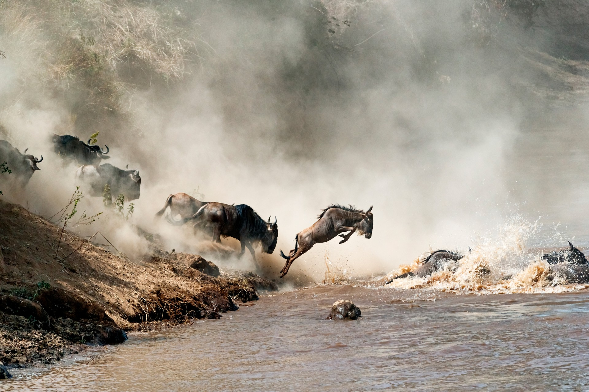 Wildebeest crossing the Mara River in the Great Migration