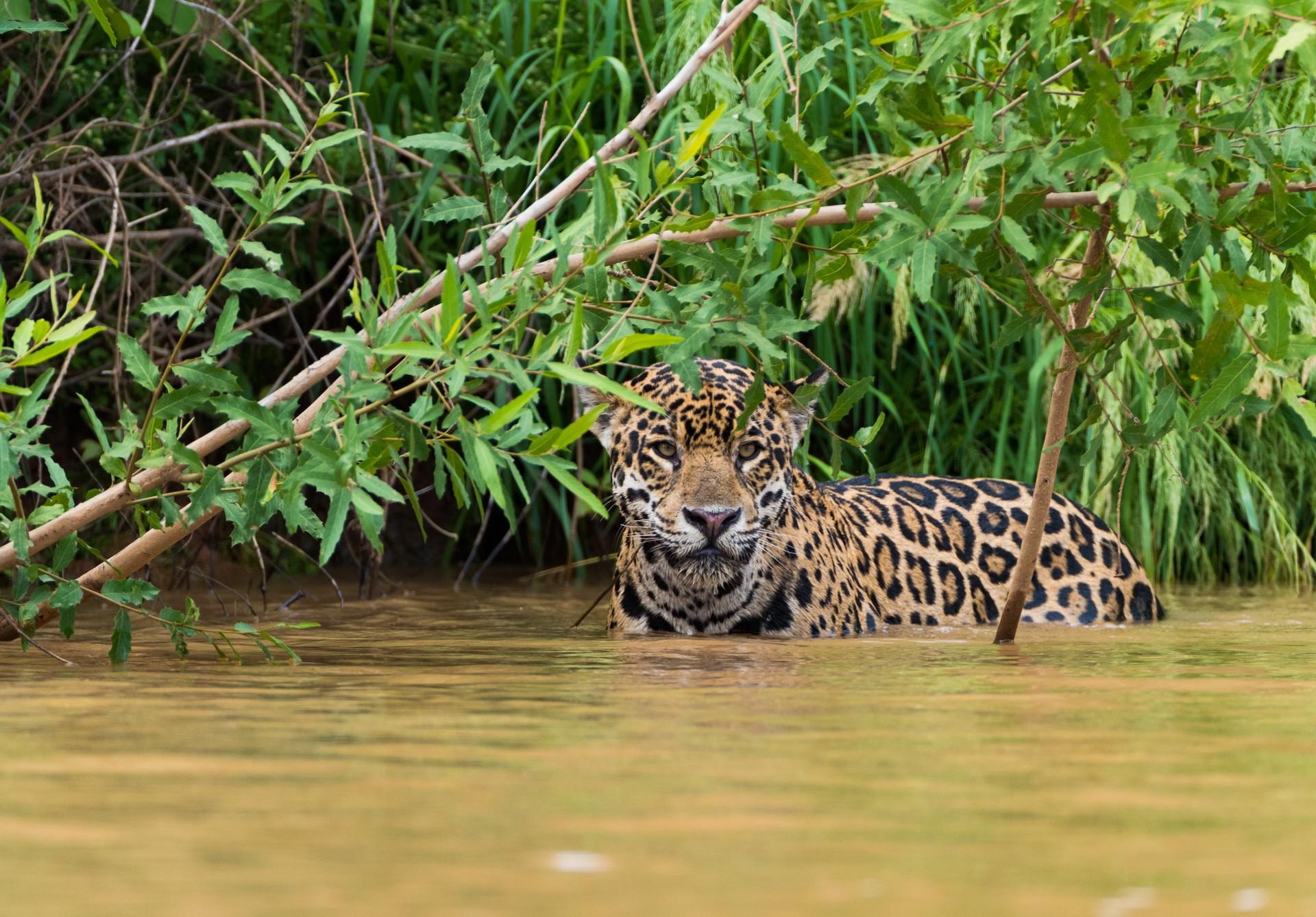 Ulitmate holiday destinations: Jaguar  in Pantanal National Park