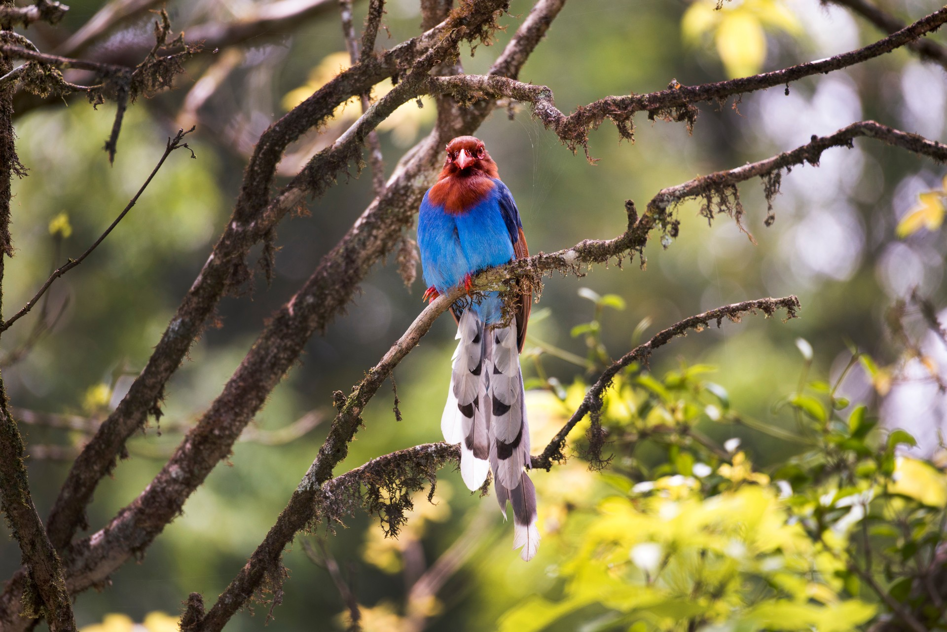 Sri Lankan blue magpie in tree