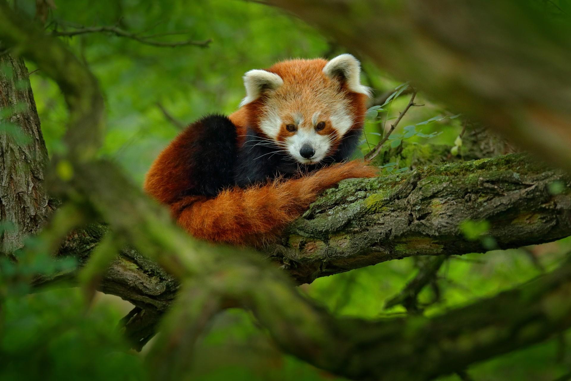 Red panda in Sichuan, China