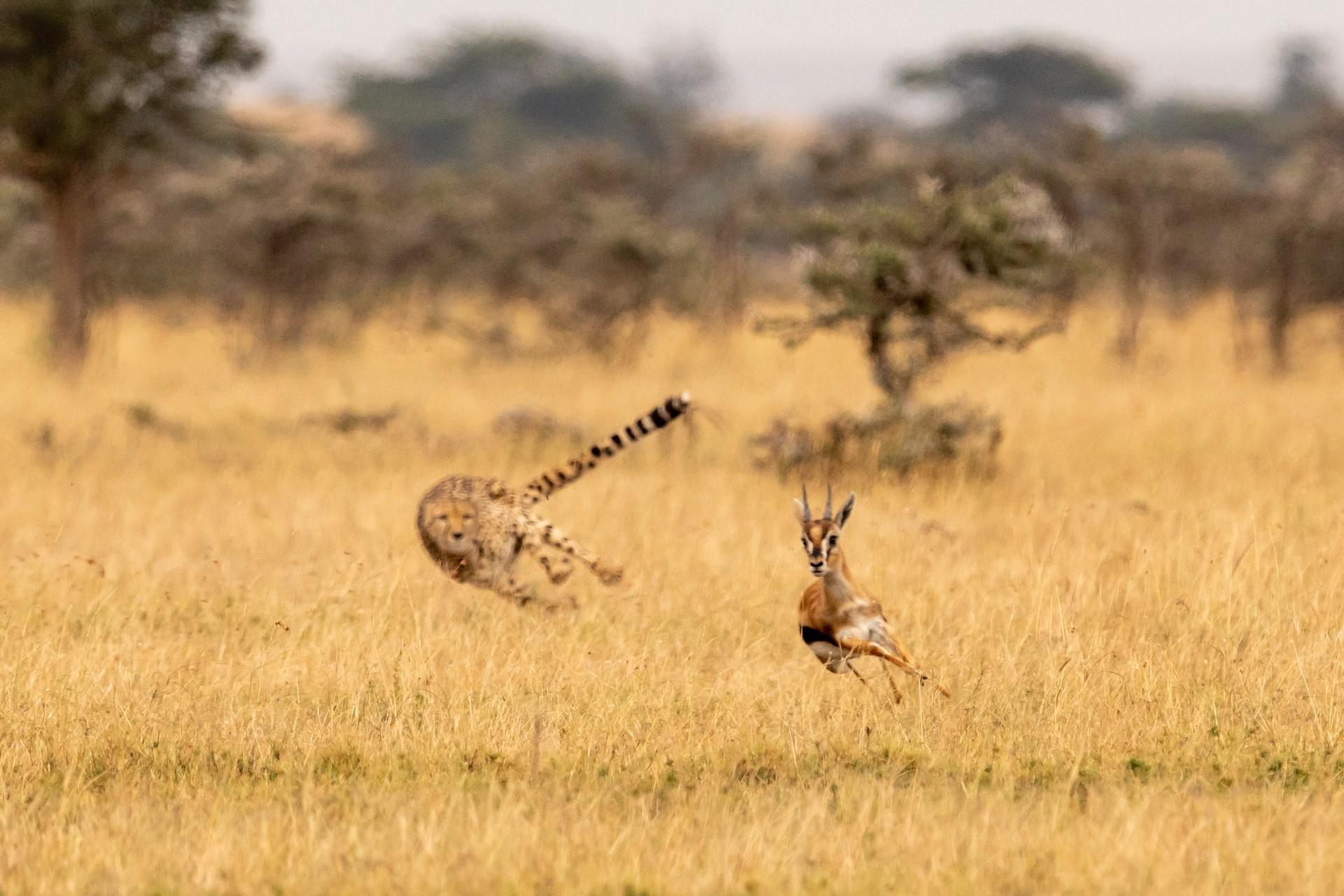 cheetah chasing prey masai mara
