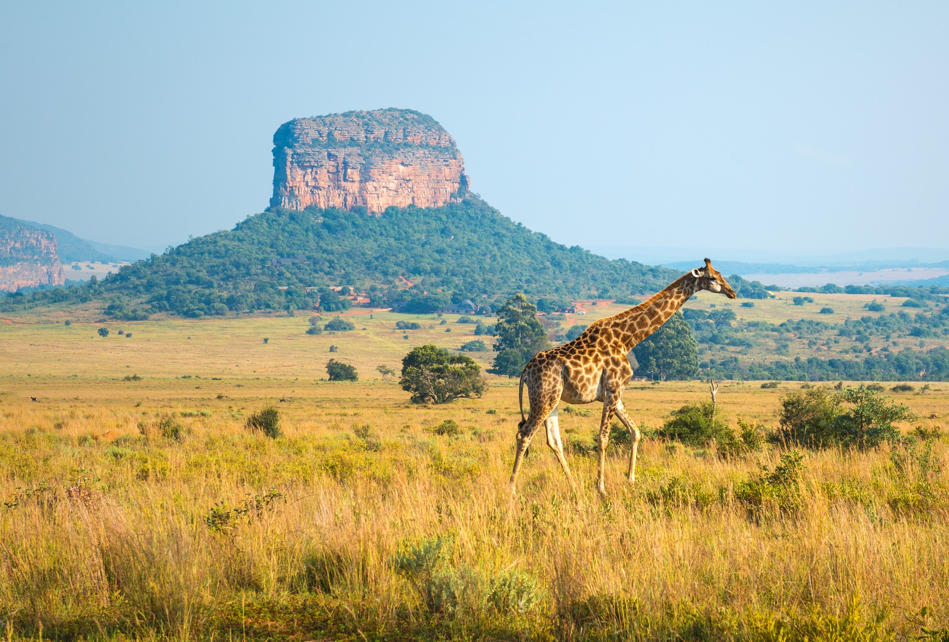 A giraffe walks across the Entabeni Safari Reserve in Limpopo province