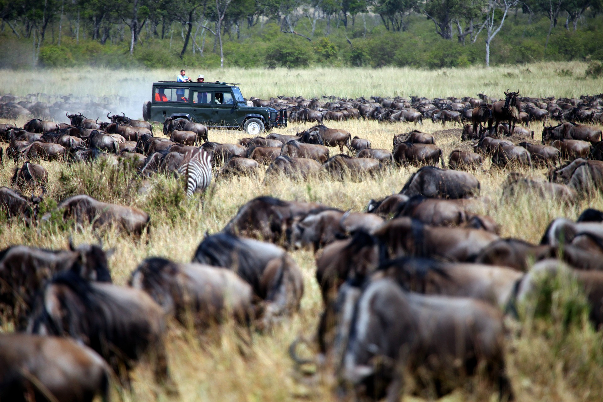 Wildebeest migrating across the Masai Mara in Kenya