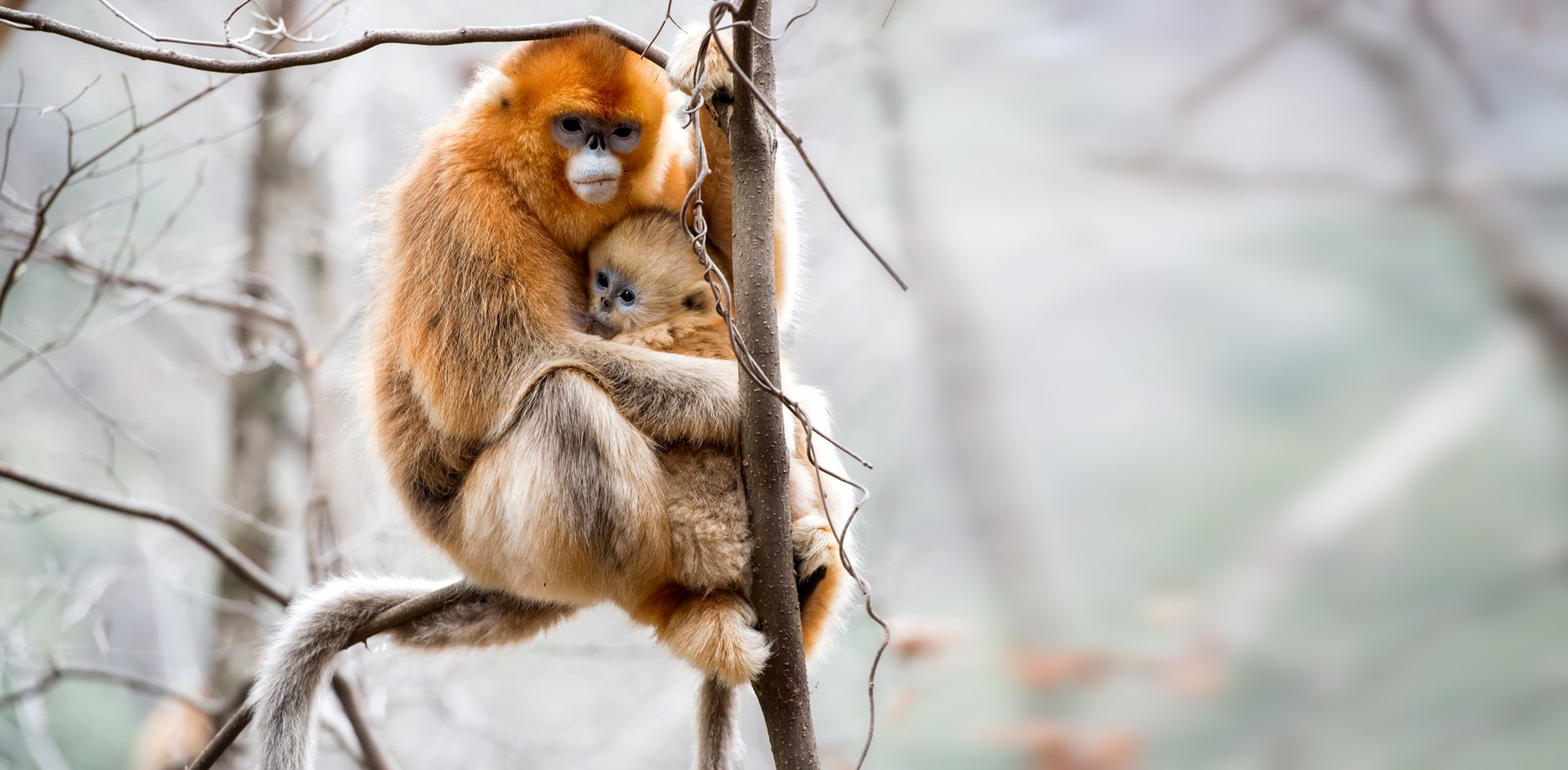 Golden snub nosed monkey and baby