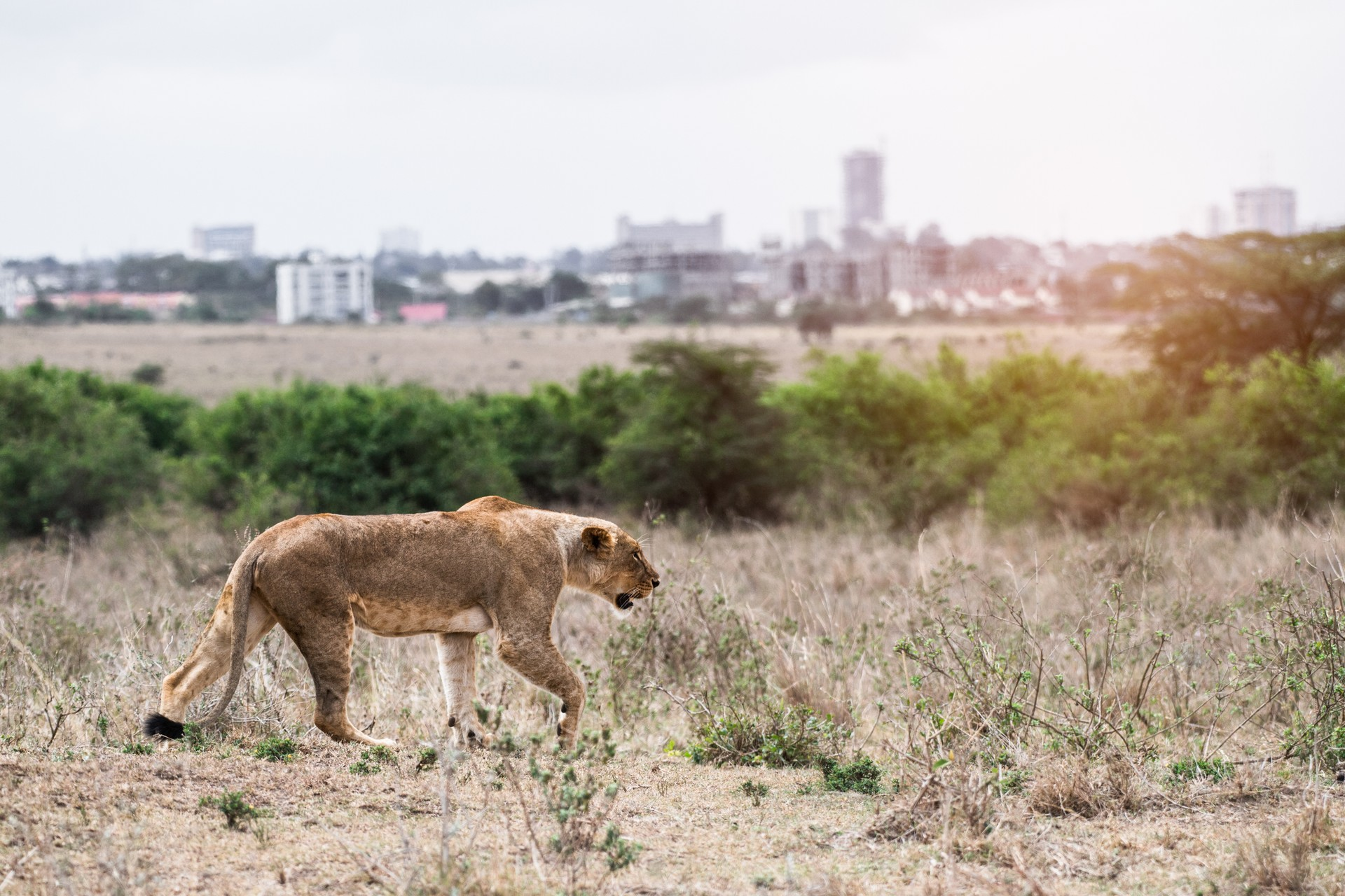 lioness in Nairobi National Park with city skyline