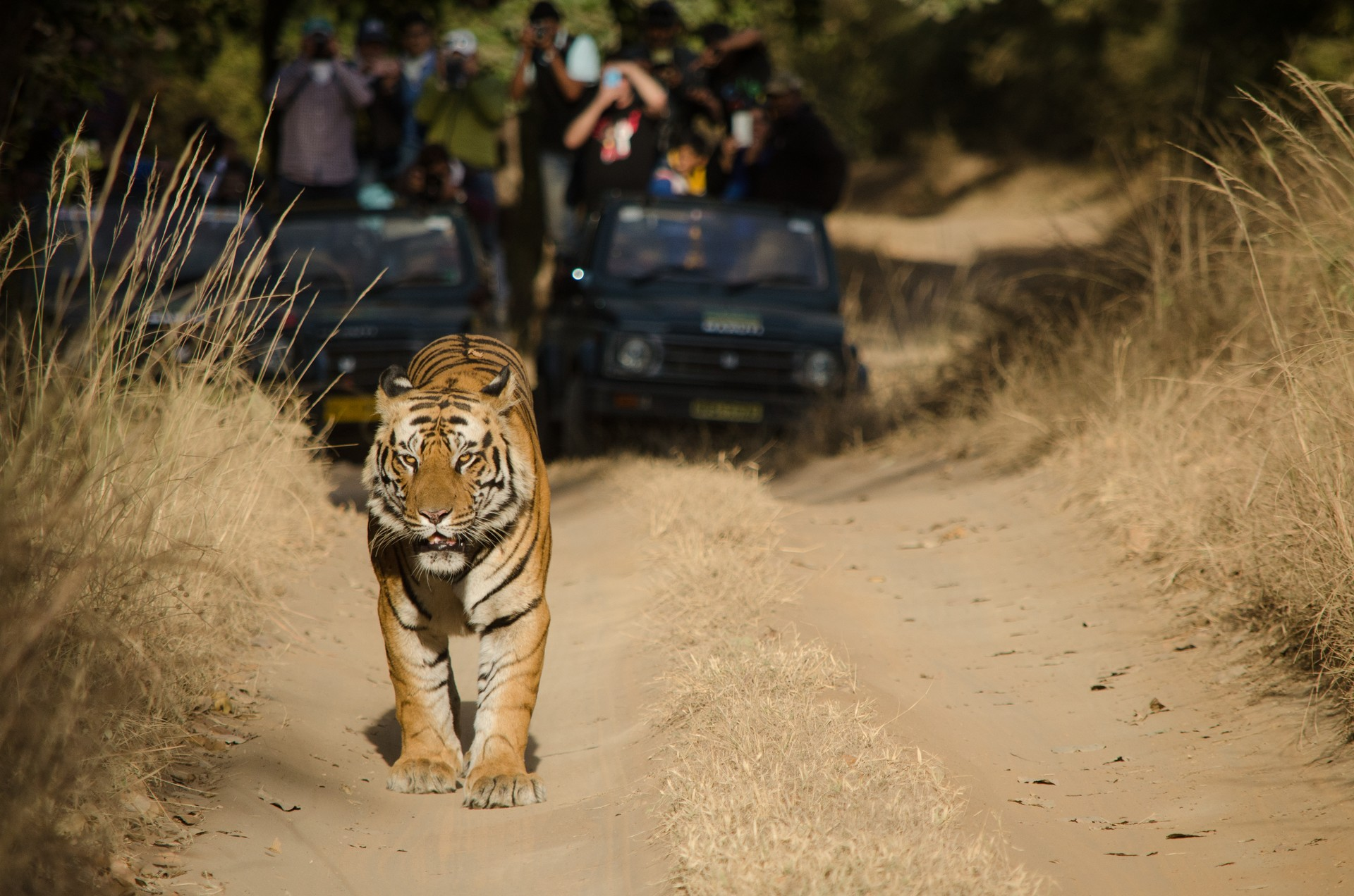 Male tiger in Bandhavgarh National Park, India
