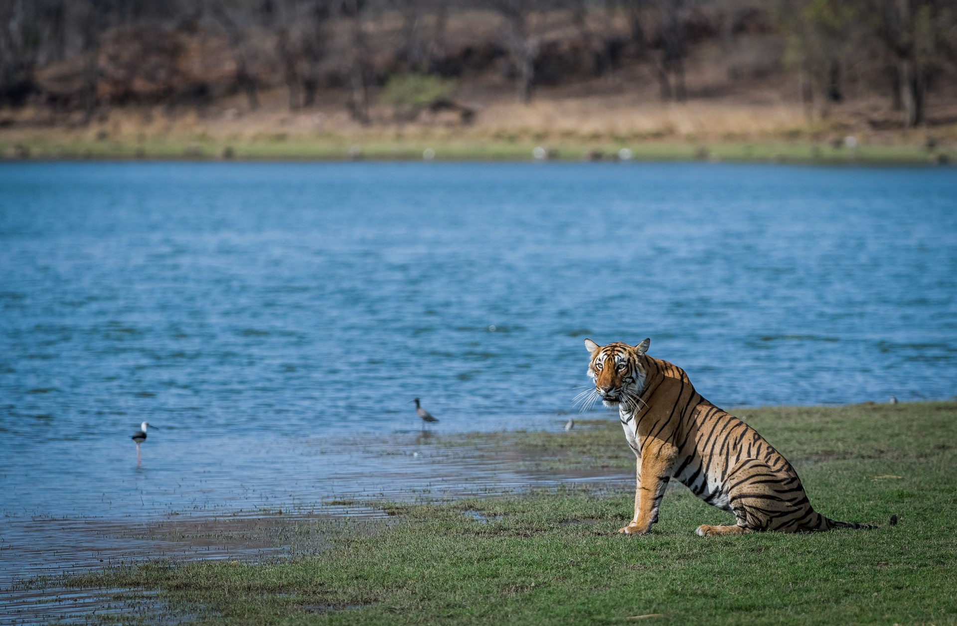 Tiger in bandhavgarh national park india