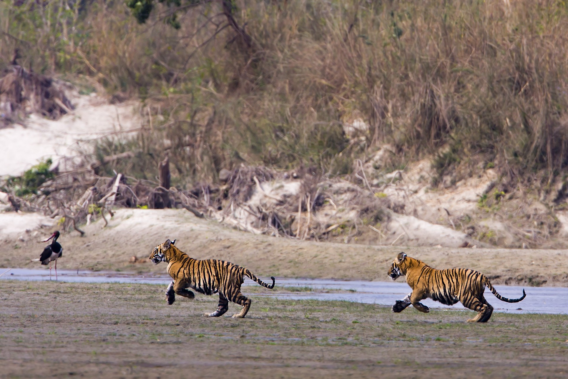 Young tigers playing in Nepal
