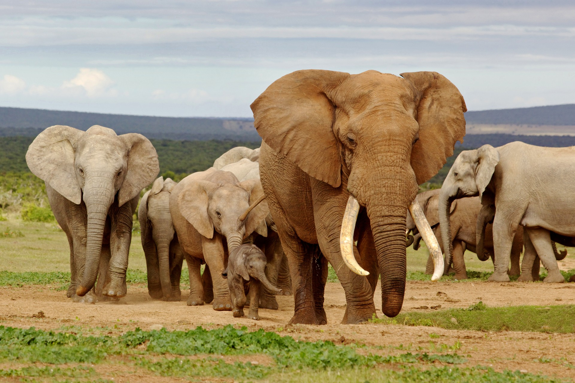 A herd of elephants in South Africa