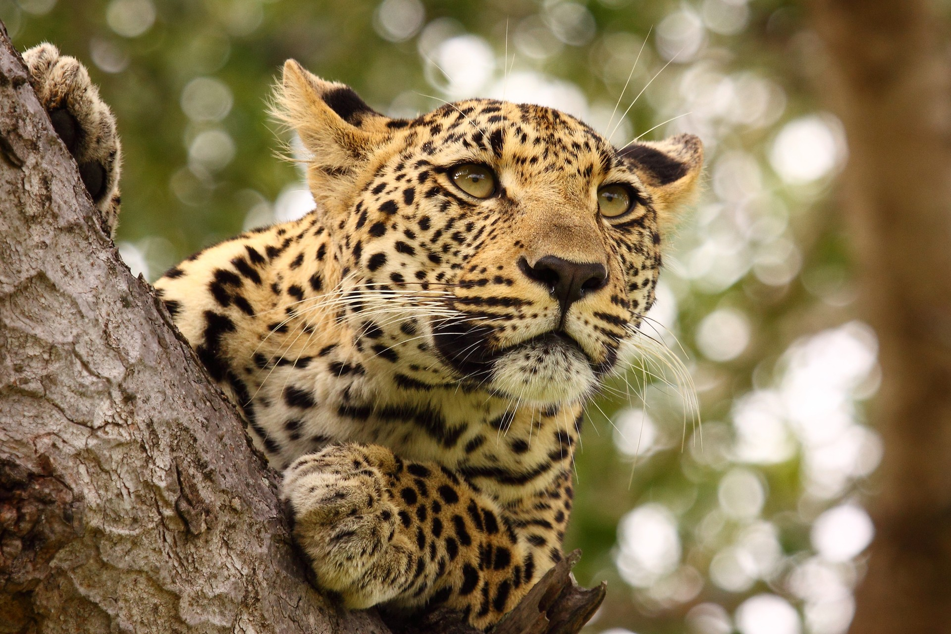 Leopard in tree South Africa