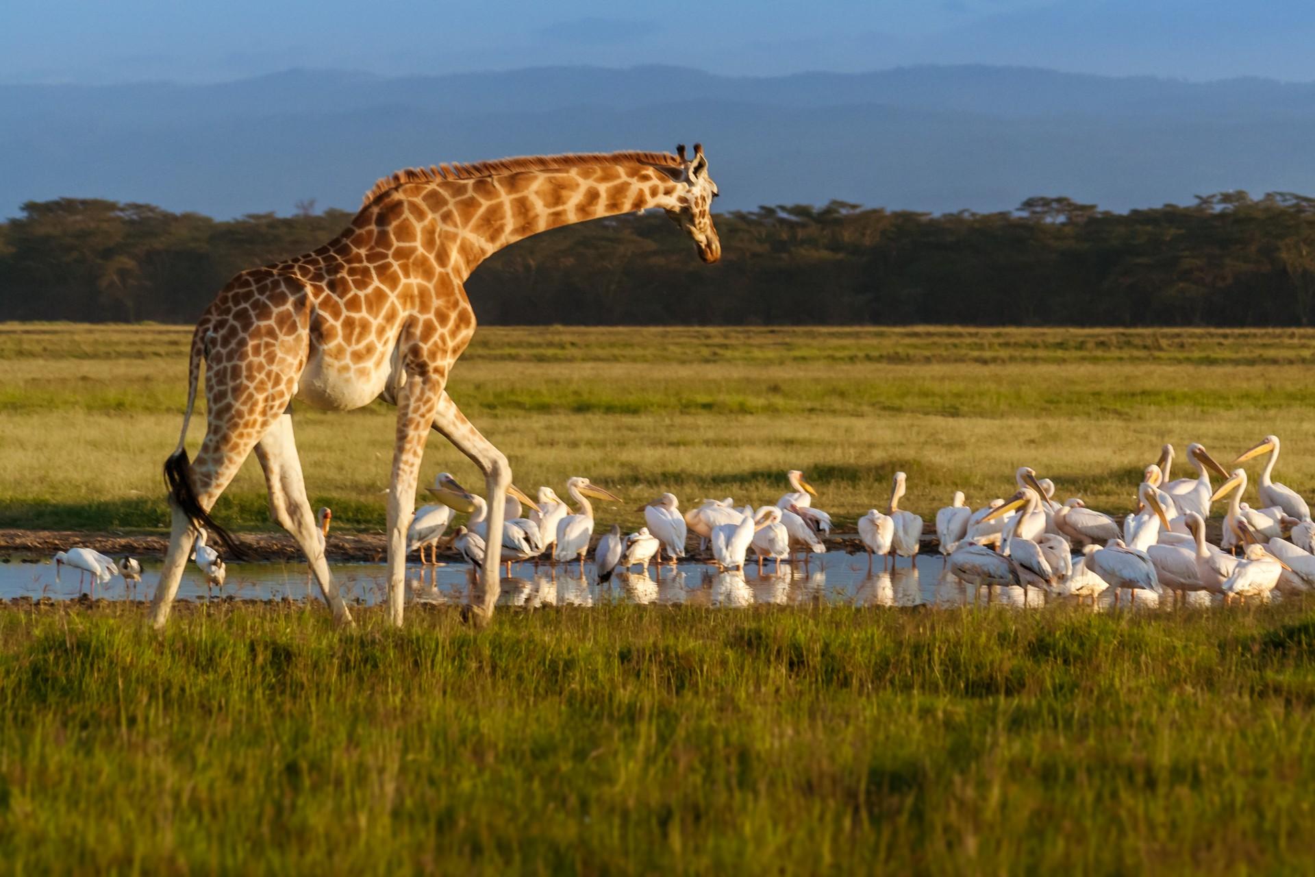 Giraffe in Lake Nakuru National Park Kenya