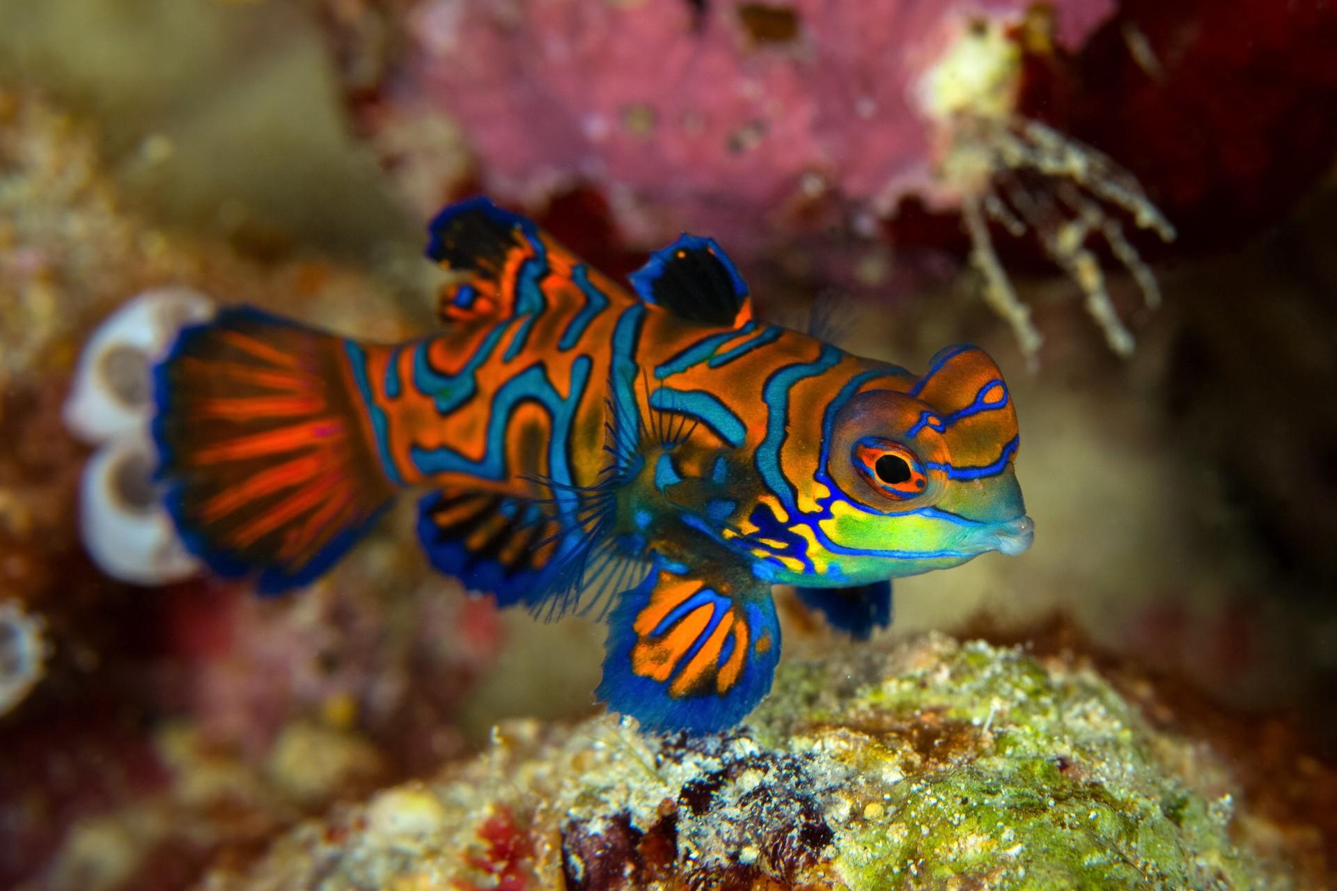 Mandarinfish in Borneo